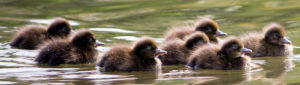 Source: https://www.publicdomainpictures.net/en/view-image.php?image=34361&picture=cute-ducklings