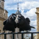 Jubilee and Munin, Ravens of the Tower of London. © User:Colin / Wikimedia Commons / CC BY-SA 4.0 https://en.wikipedia.org/wiki/File:Jubilee_and_Munin,_Ravens,_Tower_of_London_2016-04-30.jpg
