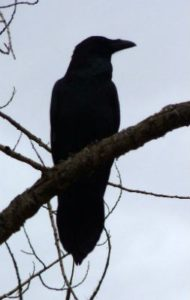 Common raven. Source: Zion National Park, https://www.nps.gov/zion/learn/nature/raven.htm