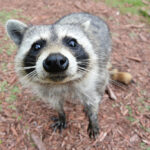 A curious raccoon in the Florida Everglades approaches a group of humans, hoping to be fed. Source: https://commons.wikimedia.org/wiki/File:Curious_Raccoon.jpg